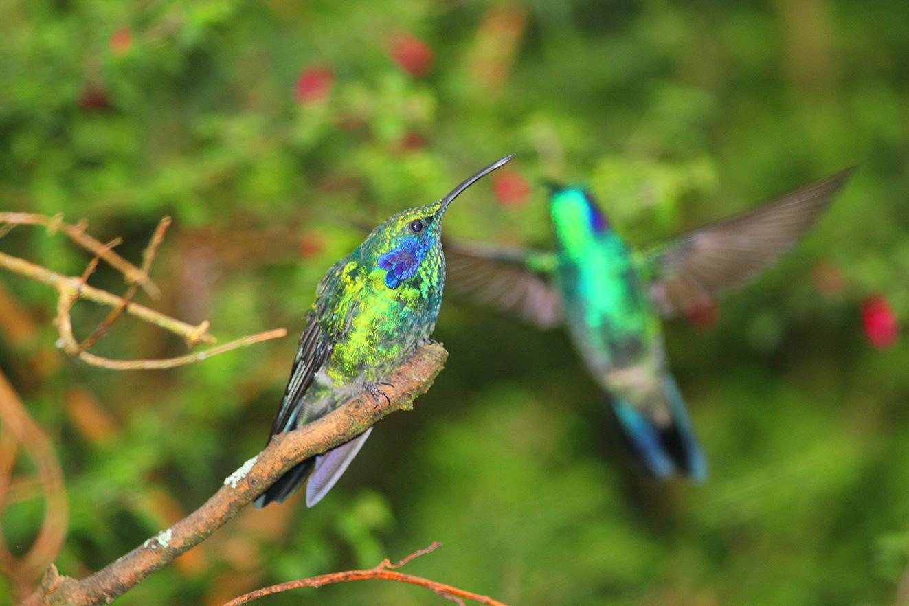 colibries