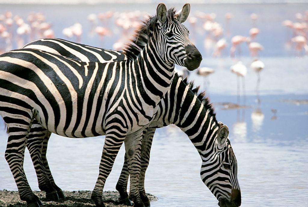 Cebras en el Cráter Ngorongoro