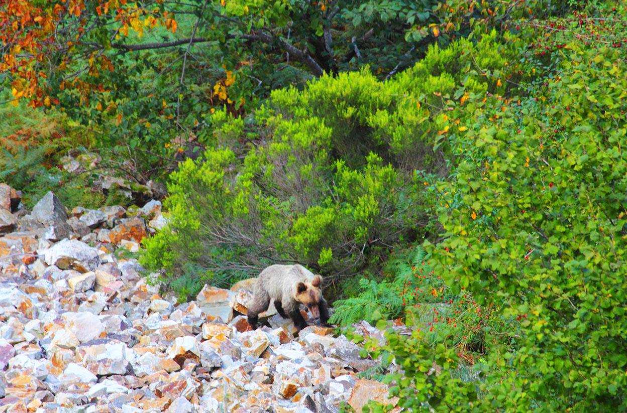 Oso pardo cantábrico en la montaña pasando por un pedrero entre el bosque.