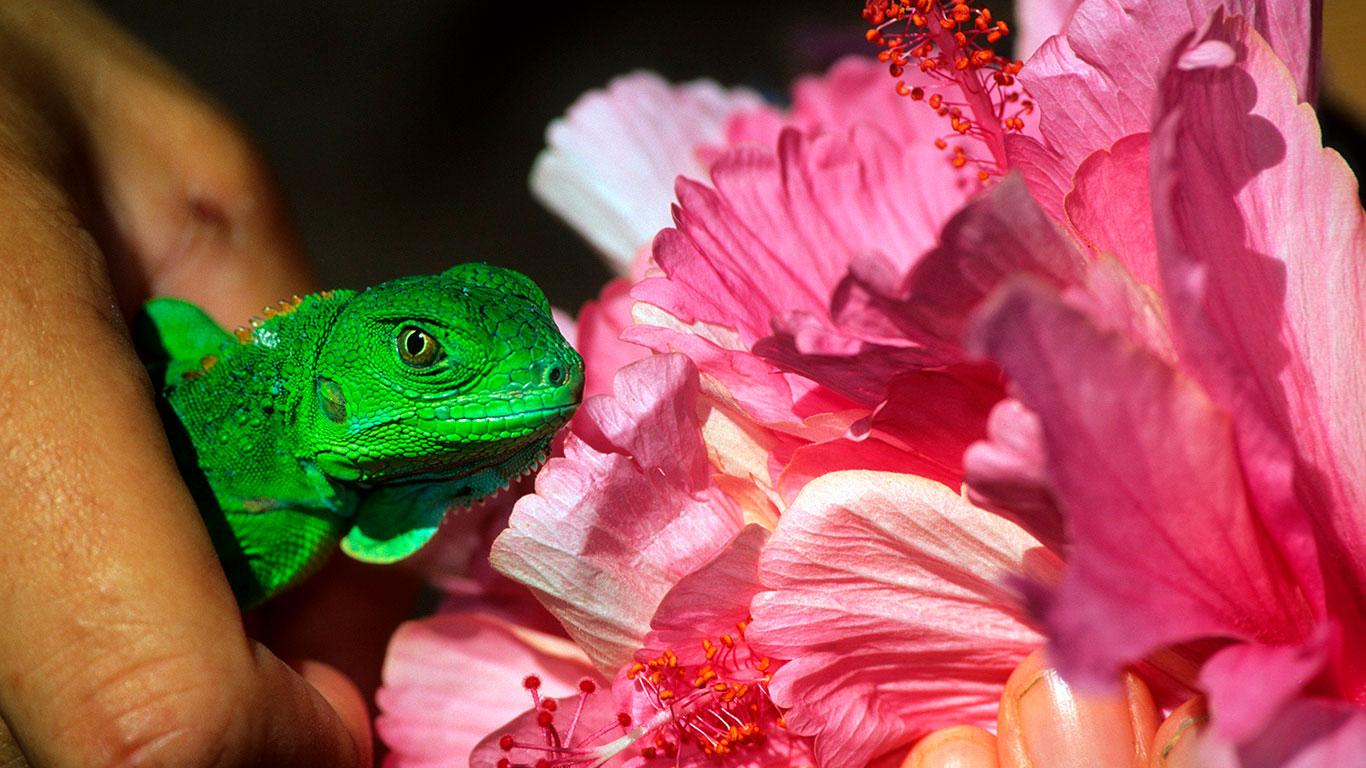 Cría de iguana en Costa Rica.