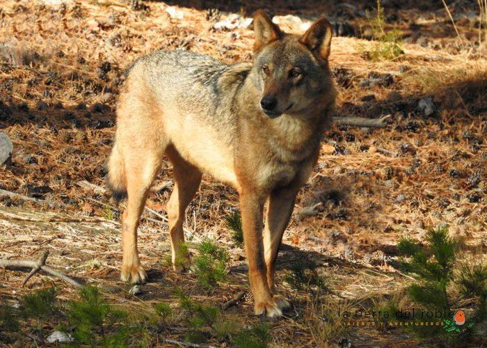 Fotografía de lobo ibérico